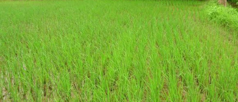 Paddy on 33 hectares may be damaged in Salcete due to heavy rain