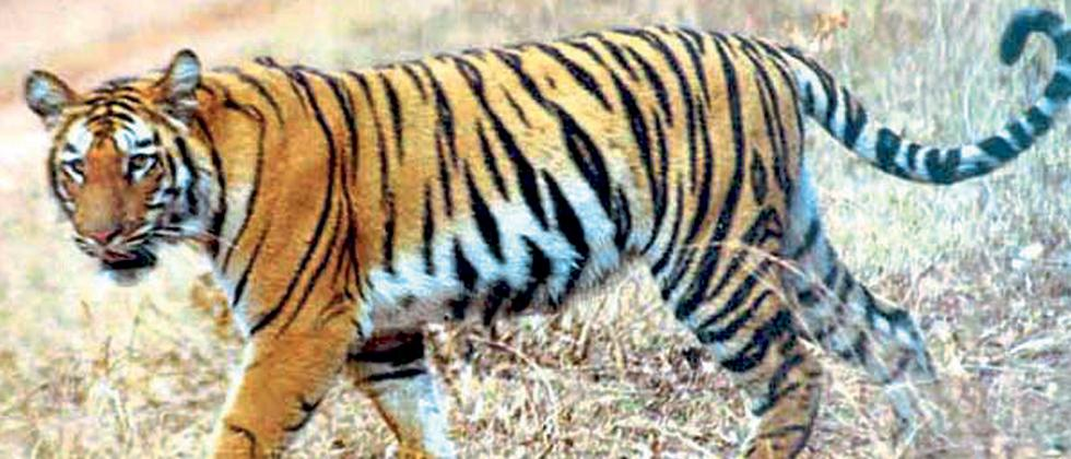 editorial article: environment- Conservation migration of Tiger