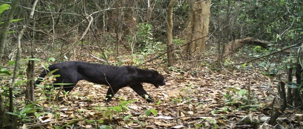 black panther have observed in amboli goa