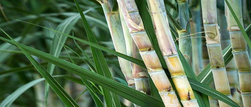 Goa state government finally released the harvesting cost to Sugarcane farmers on Friday