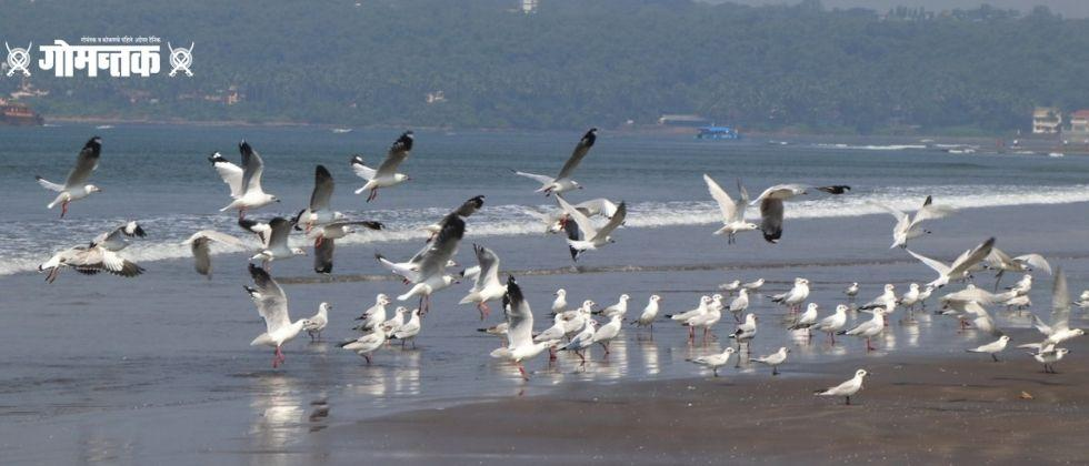Bird Flu update Goa animal husbandry departments started to checking the bird droppings of migratory birds