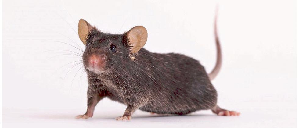 Mighty Mice in Space successful experiment on preventing muscle loss