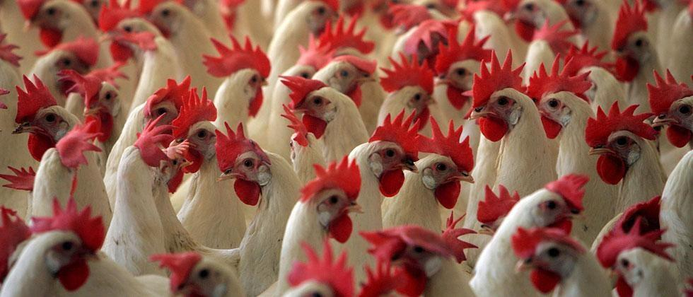 The spread of bird flu in these six states of India