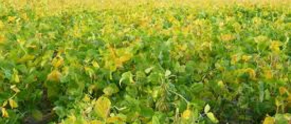 yellow soya crop