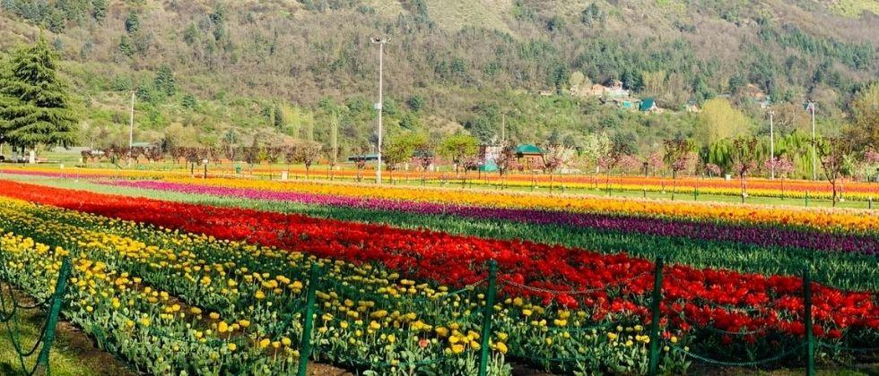 Majestic tulip garden on the foothills of the Zabarwan Mountains will open for visitors Tomorrow