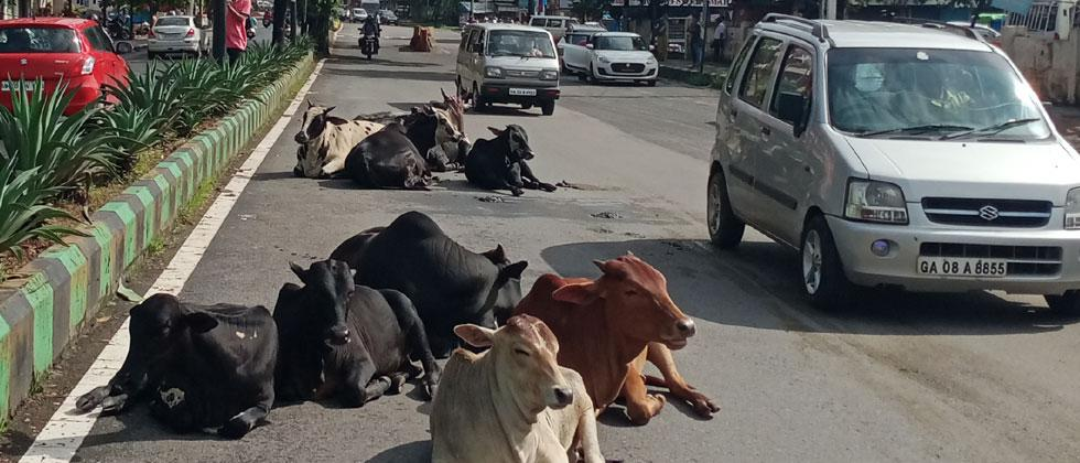 Cattle disrupted traffic in Mhapsha
