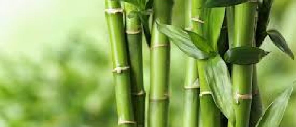 Commencement of sandalwood and bamboo cultivation