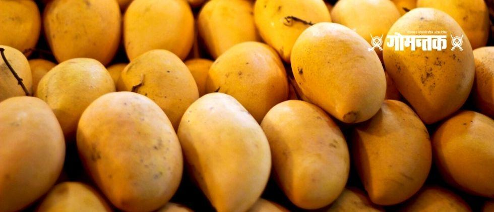 Hapus Mangoes will be delivered anywhere in Maharashtra from Ratnagiri division of ST Corporation