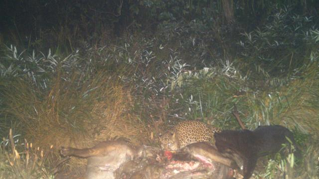 A black panther captured in camera trap quietly sharing a sambhar meal with leopard in Mhadei Wildlife Sanctuary