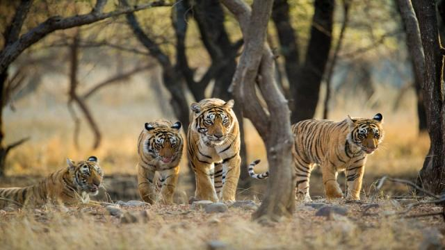 Prompt compensation could have prevented tiger killing said Mote