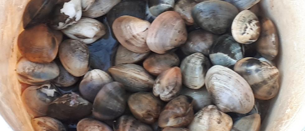 Clams collected in a container
