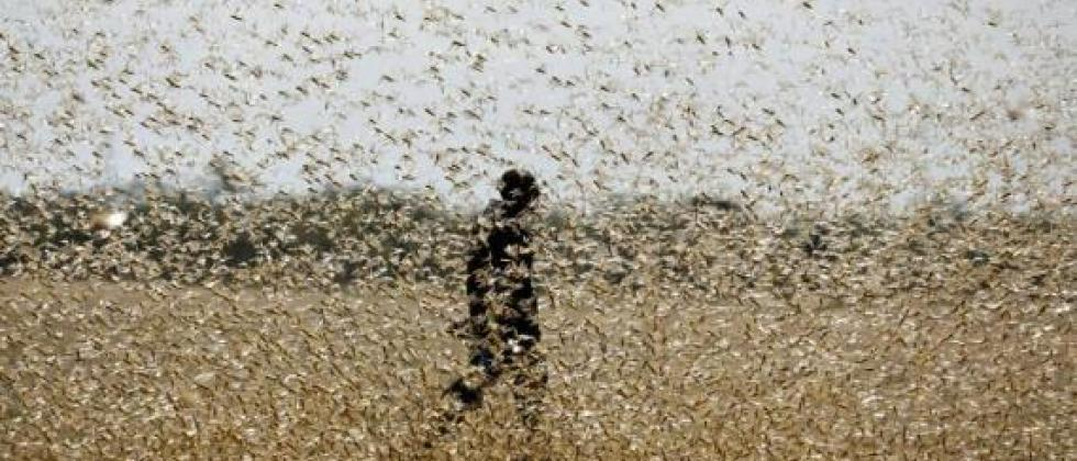 Locust attack in Rajasthan.Pic: Twitter