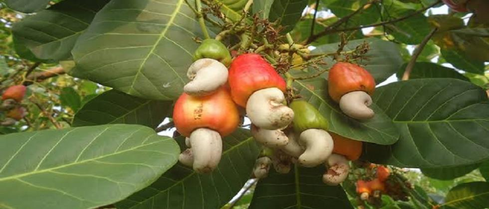 Urgent need to control cashew import in Goa says Prakash Velip