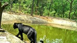 Black Panther spotted at Netravali sanctuary. (Pic courtesy: Twitter)