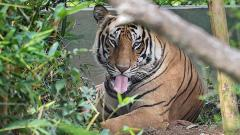 Negligence of forest dept has led to death of 4 tigers