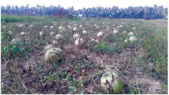 Farmers cry foul as new disease hampers watermelon production