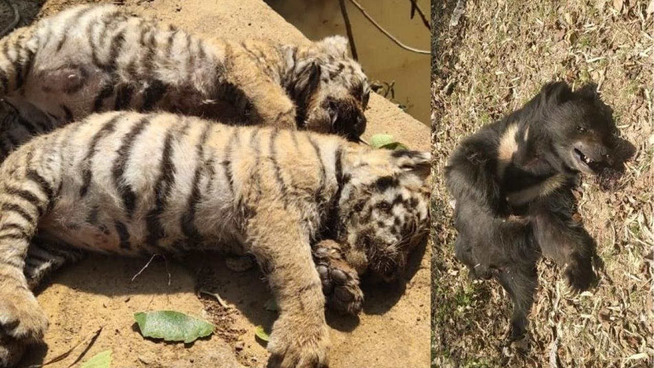 Two tiger calves and a bear die on the same day