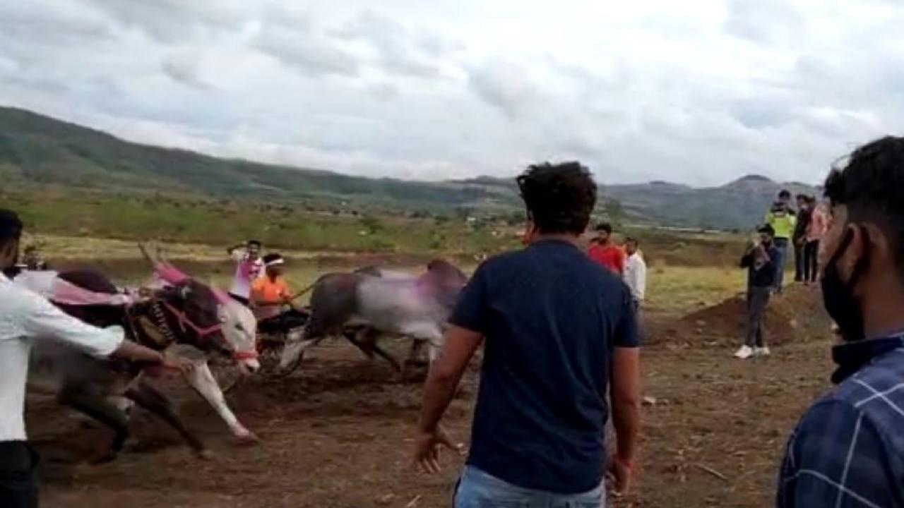Illegal Bullock Cart race in Pune District