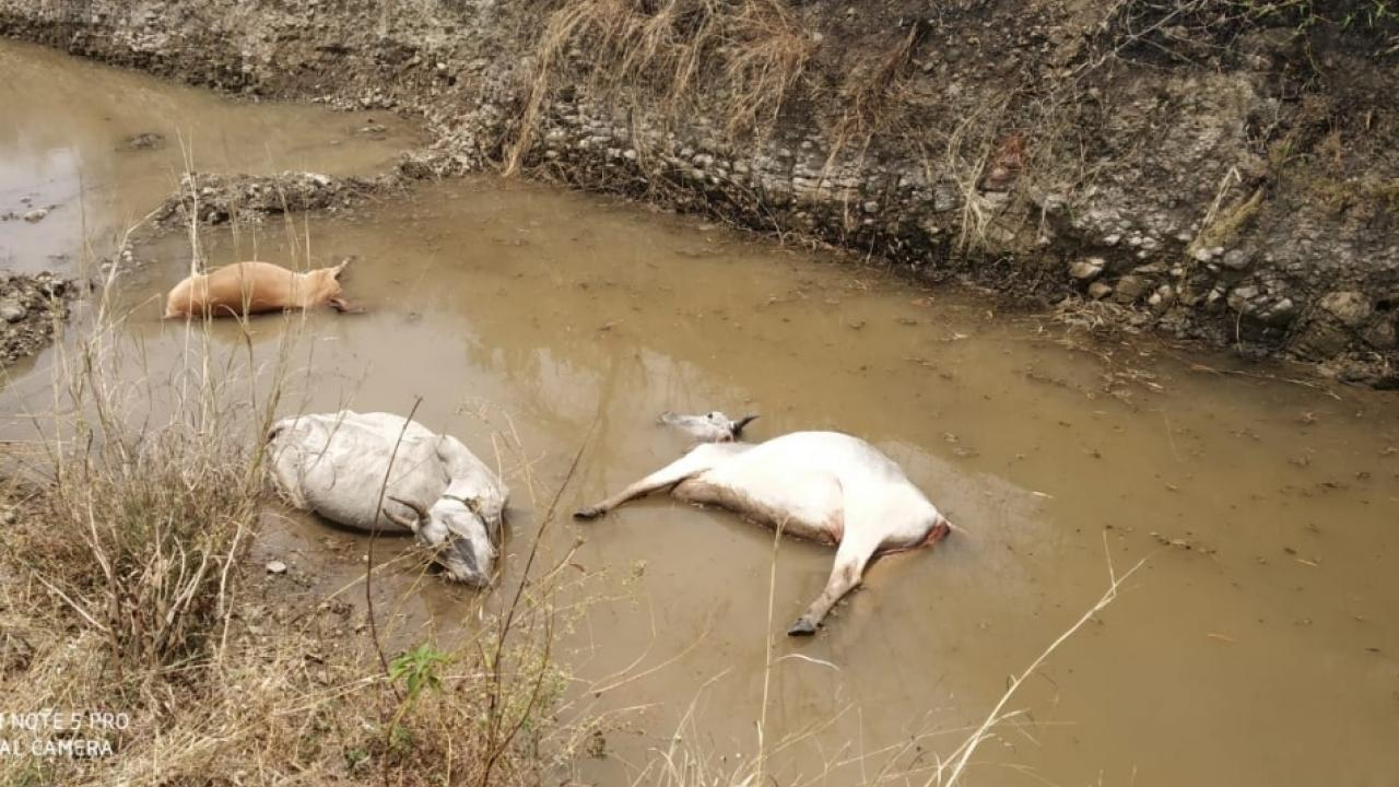 Three cows died in washim after touching electric wire