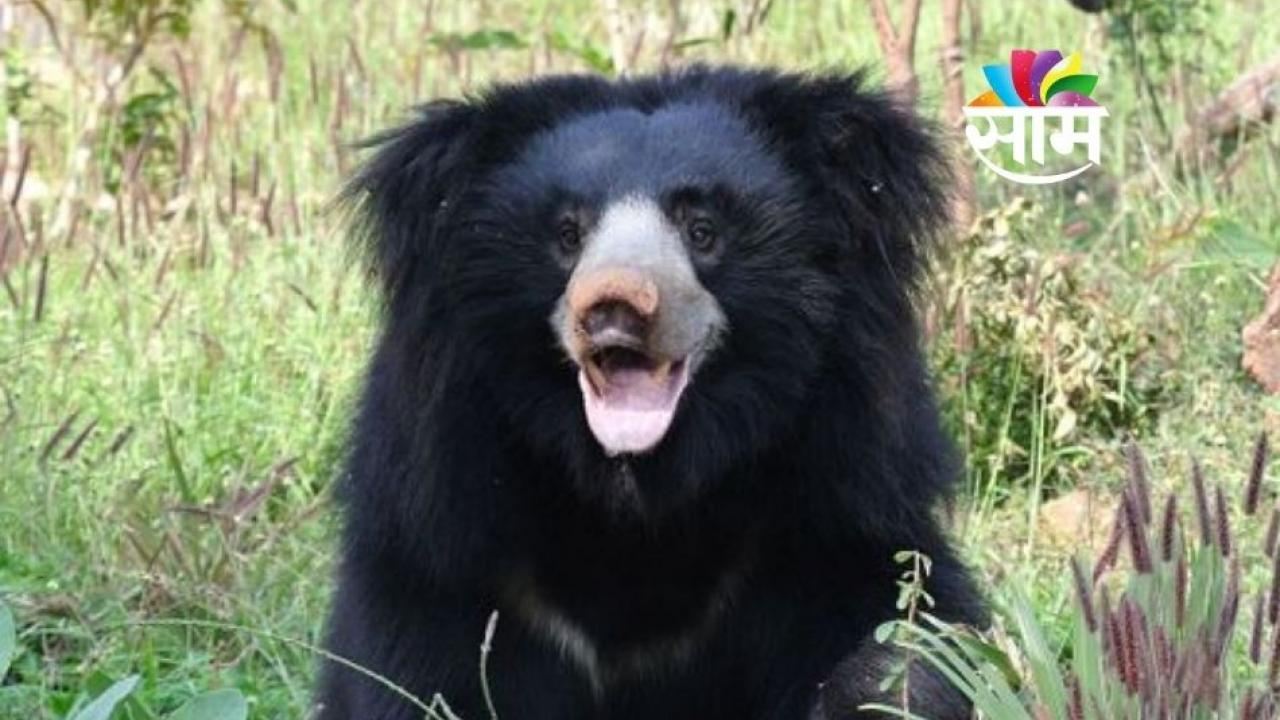 Bear Attacked Three in Bhandara