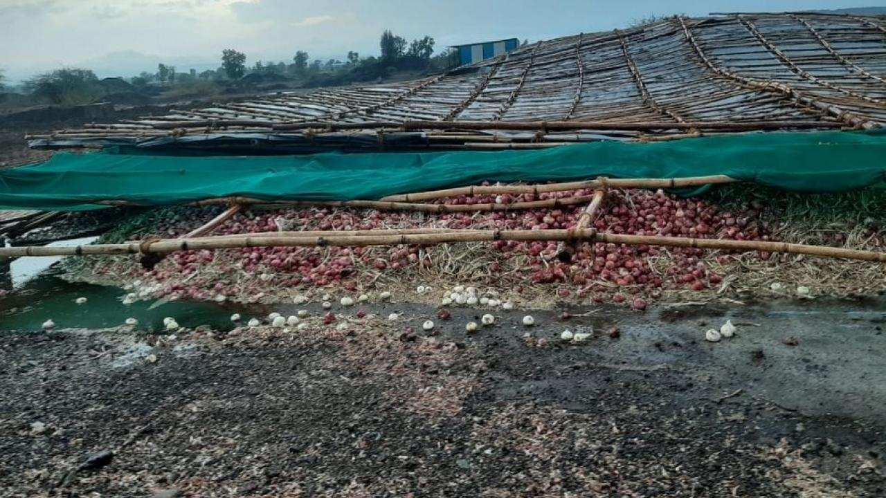 Damage to onion crop due to unseasonal rains and strong winds