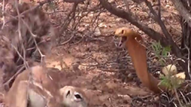 viral satya squirrel battles cobra to protect her babies