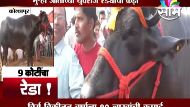 bull famous for his healthy sperms , healthy sperms , Sperms of Bull, Kolhapur , Saam Tv