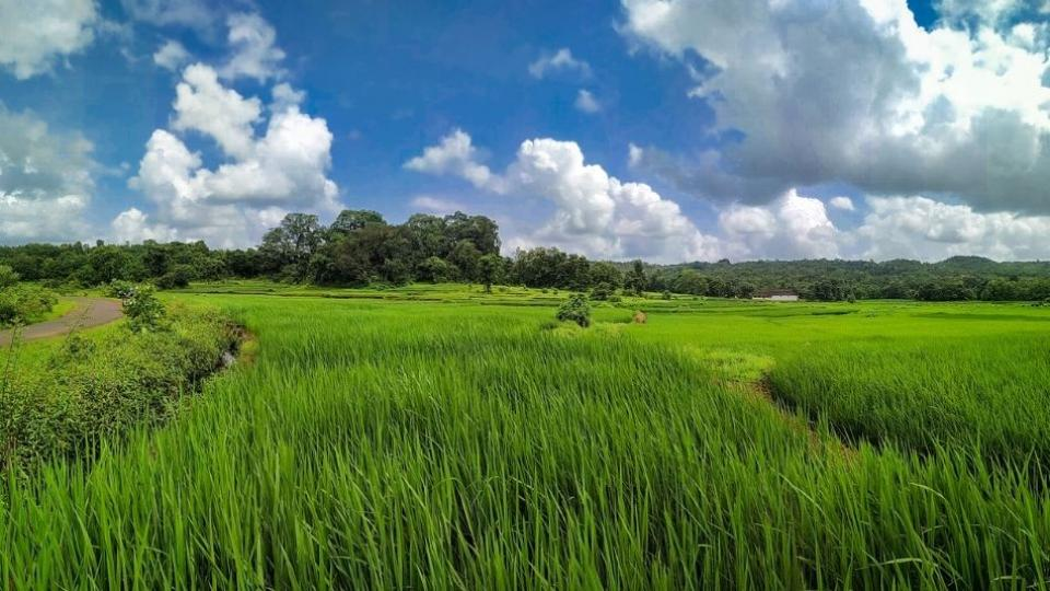 Blue rice will now grow in Mahabaleshwar.