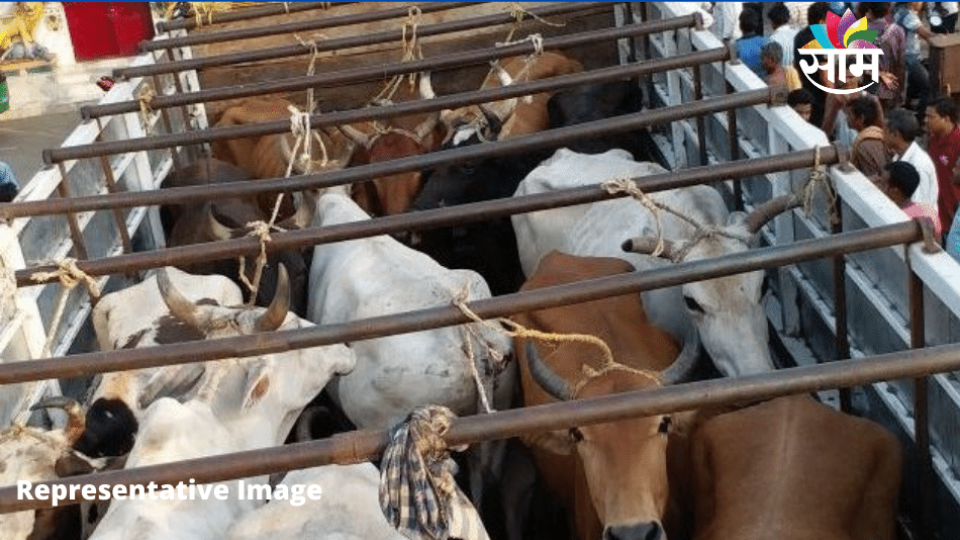 Cattle Trafficking