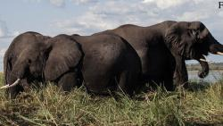 Over 350 elephants found dead in mysterious condition in Botswana since May