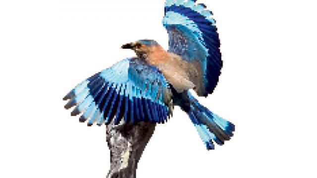 SPREADING MAGIC: Indian Roller