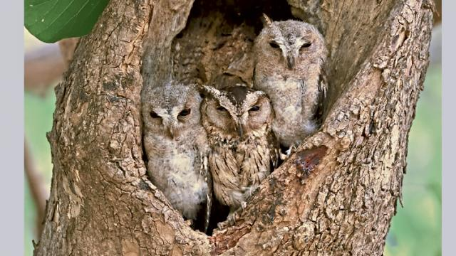 THE FAMILY: Indian scops owl