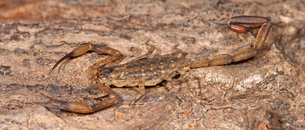 World Biodiversity Day 2020: New scorpion species discovered by Pune scientists