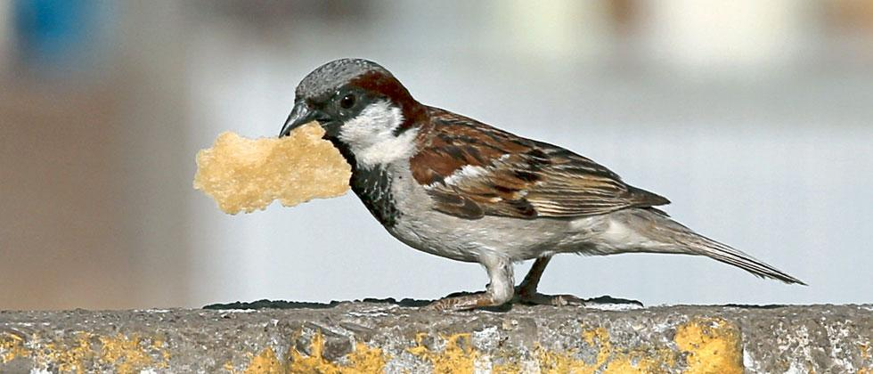 Rapid urbanisation can affect no. of house sparrows