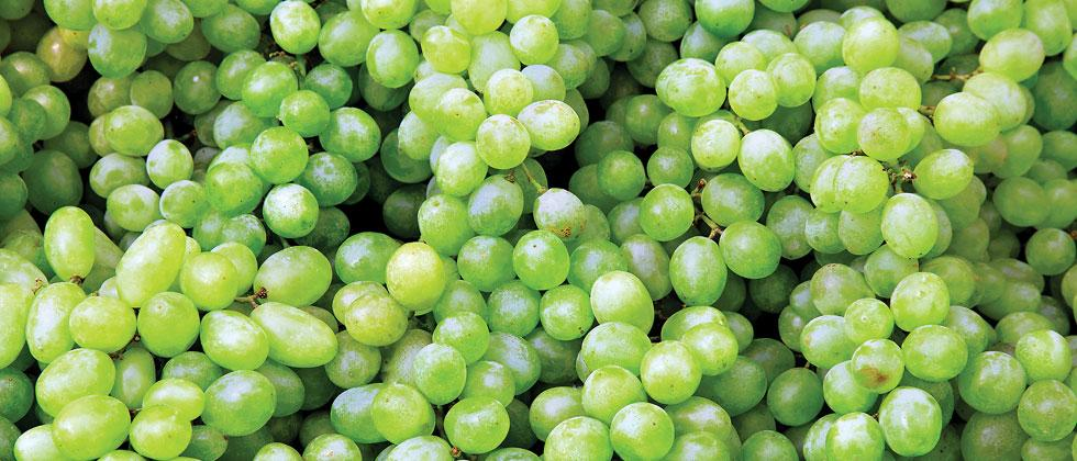 Extended rainfall delays grapes' export in State