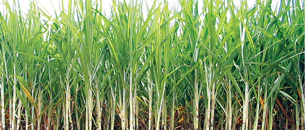 27 sugar mills start operations in State