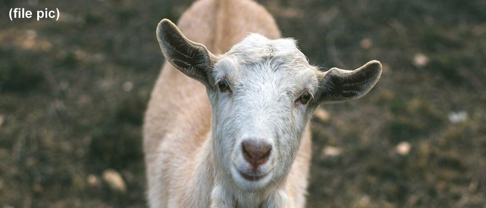 Goat sacrifice during Navratri leads to chaos