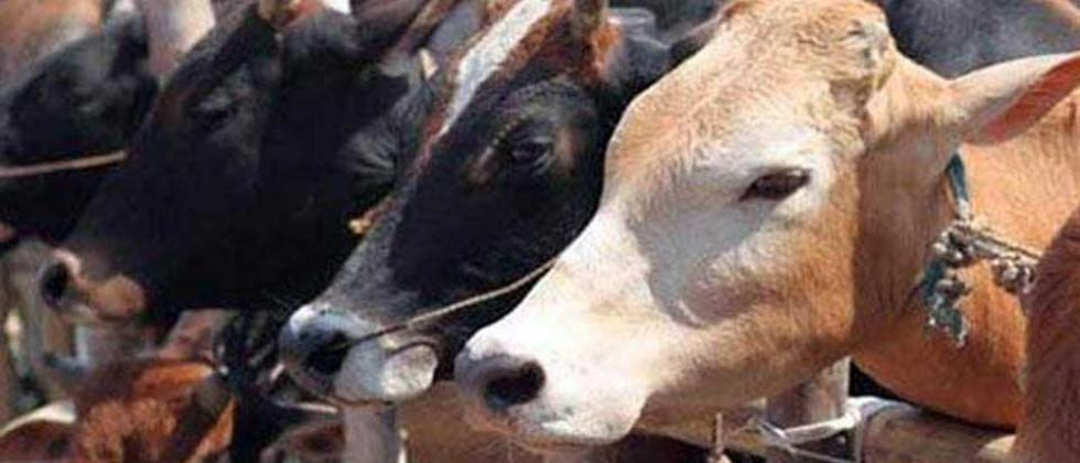 Councillor's husband absconding in cow smuggling case; 13 cows rescued from slaughter