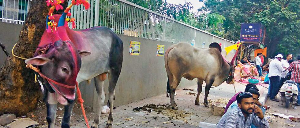 Protest organised in city over ban on bullock cart racing