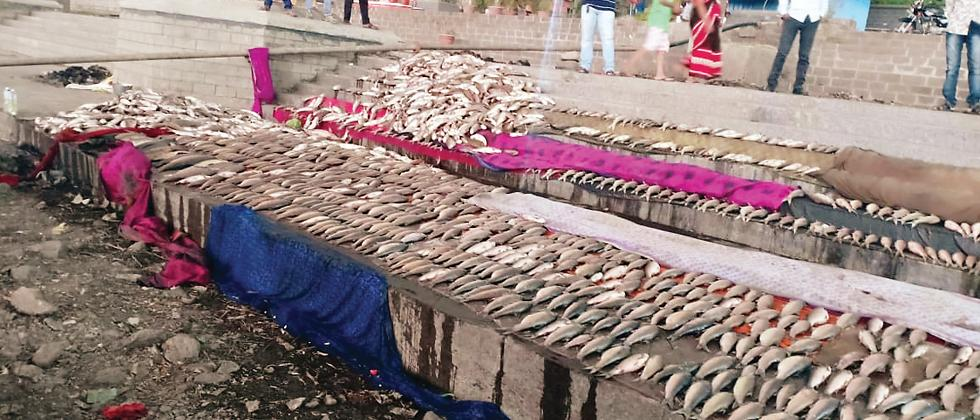 Thousands of fish were found dead in the Indrayani river at Gopalpura, Dehu, on Sunday and Monday due to release of untreated water in the river