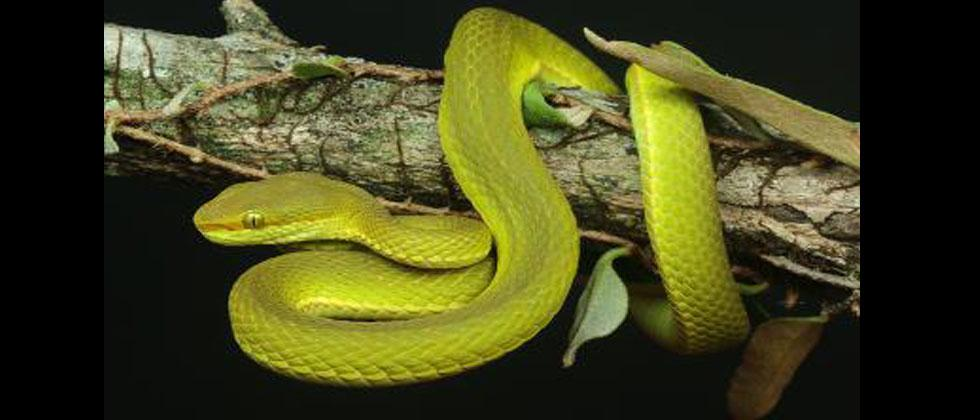 Pune-based researcher part of team that discovered new species of Green Pit Viper