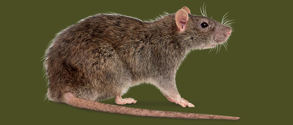 Hantavirus kills a man in China! Here's all you need to know about the deadly virus