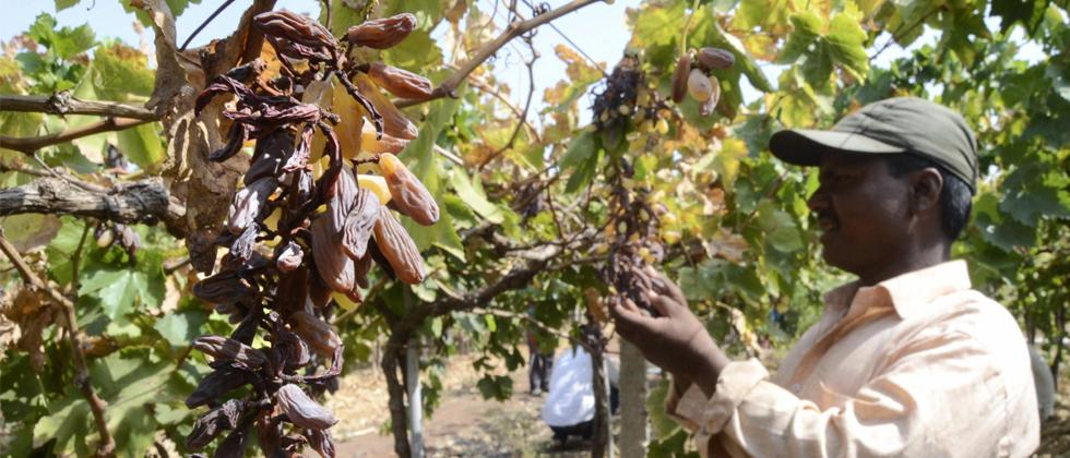 Farmer looks at damaged grapes due to water scarcity, at Peertakali Village in Solapur, on May 11, 2019. PTI Photo