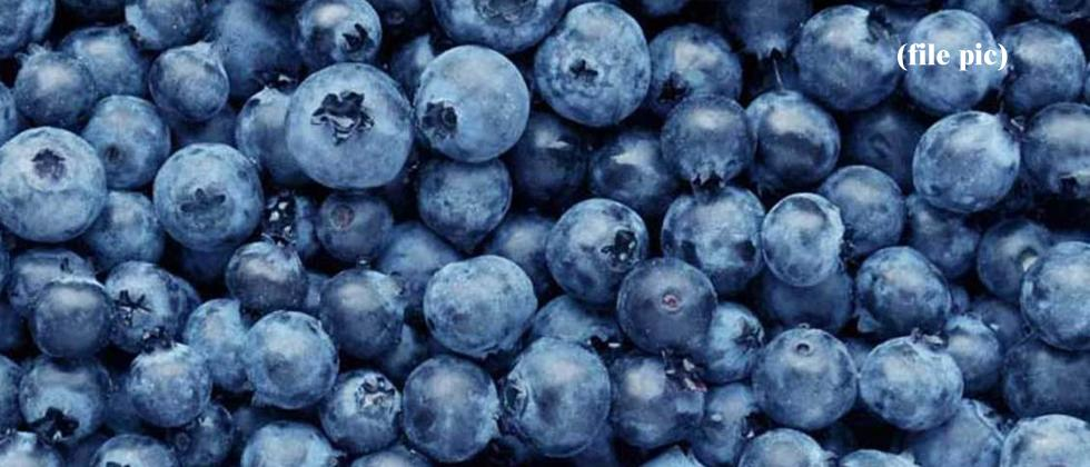 INI Farms and Munger Farms to conduct research on growing blueberries in State