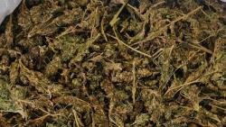 Pune: 25 kg marijuana worth Rs 6.5 lakh seized in Hinjewadi; one arrested