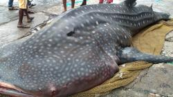 Mumbai: Fishermen net 26 feet long whale shark