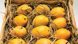 Alphonso lovers will have to wait longer for the king