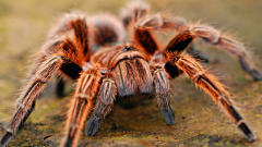 Spider venom may work as painkiller for irritable bowel syndrome