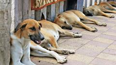 PMC hires more agencies to up dog sterilisations