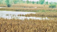 Assessment of crop damage delayed due to rainfall: Divase